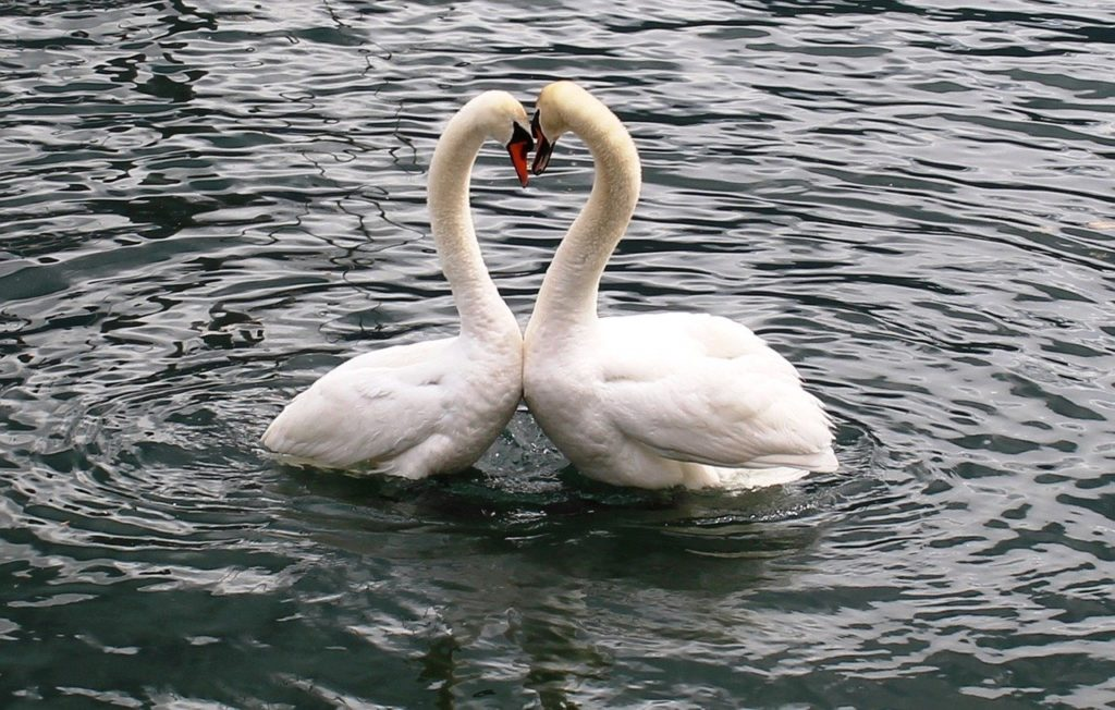 Photograph showing a pair of swans with their necks in heart shape
