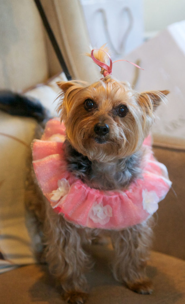 Yorkshire terrier dressed for the wedding